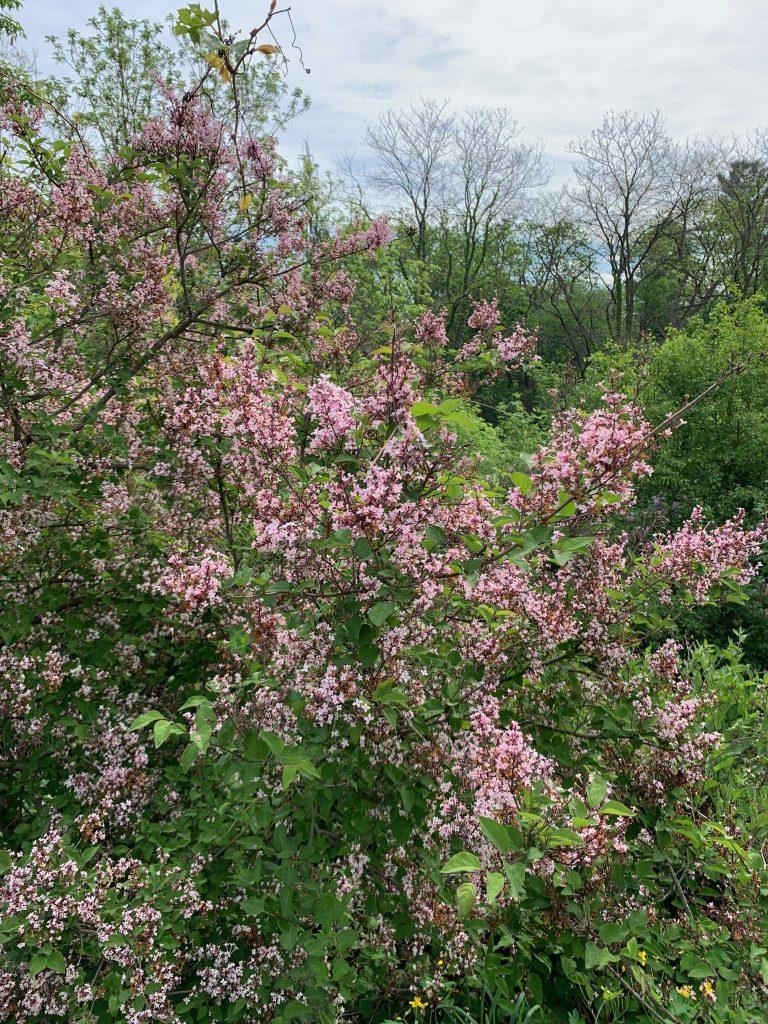 Parks in Ann Arbor: Nichols Arboretum, lilacs in the Arb