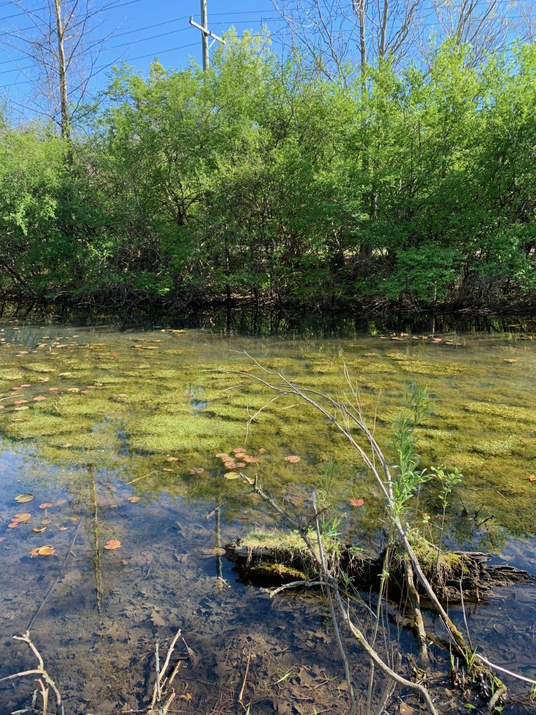 parks in Ann Arbor: the oak savanna and swamp at Furstenberg Nature Area