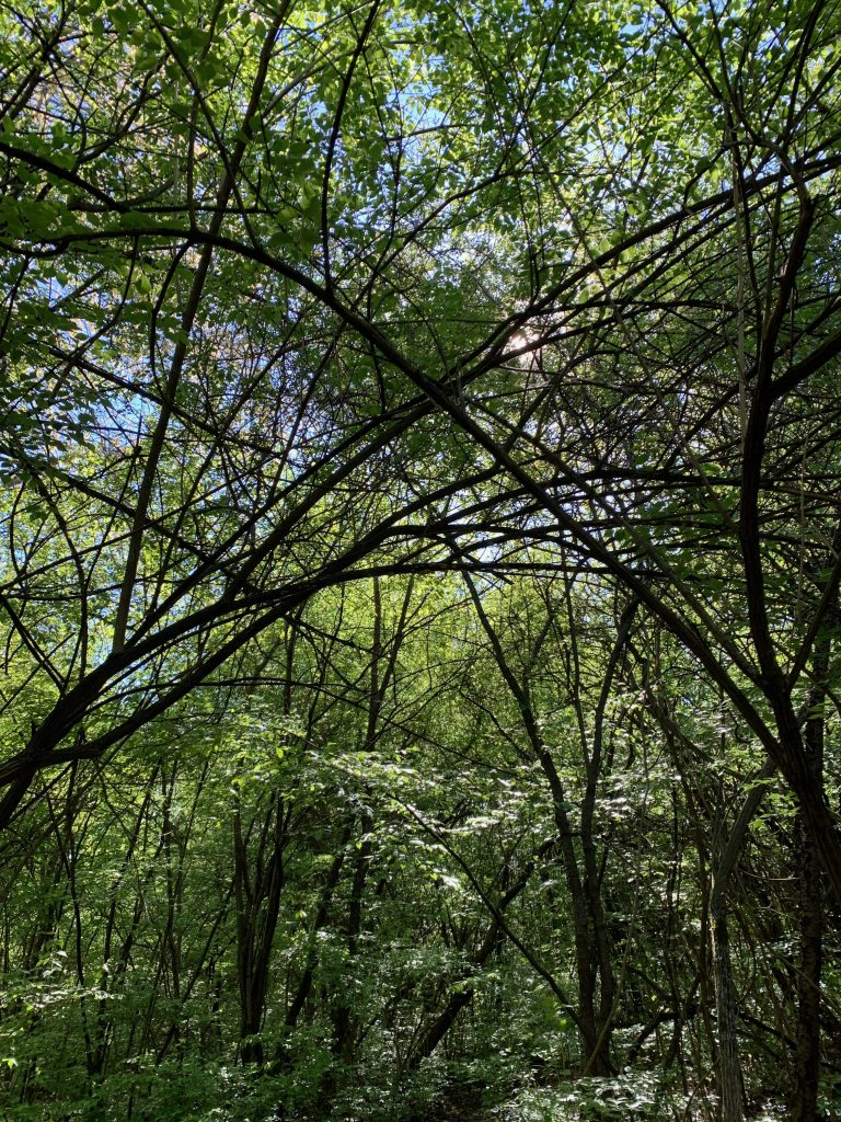 parks in Ann Arbor: Furstenberg Nature Area's beautiful trees arch overhead