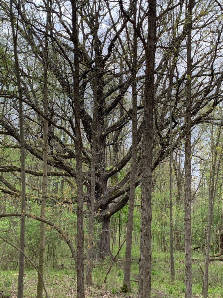 Parks in Ann Arbor: Parker Mill oak tree