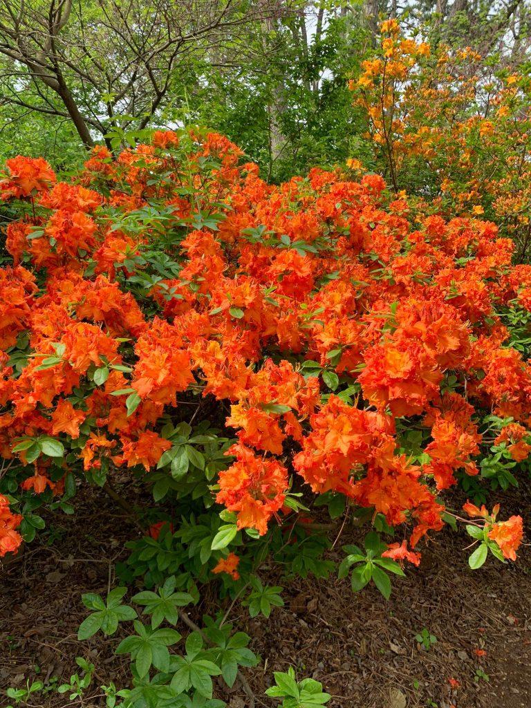 Parks in Ann Arbor: Rhododendron season at the Arb, Nichols Arboretum
