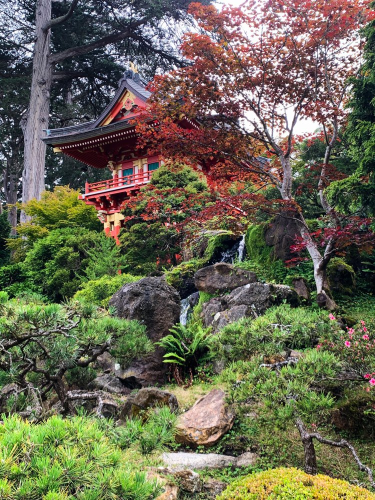 the brilliant red of a Japanese maple floats over a pagoda in the Japanese Garden of Golden Gate Park, San Francisco